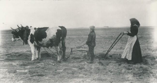 Heden pløjes med studeforspand
